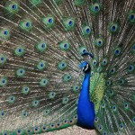 LCR---Male-Peacock_colors