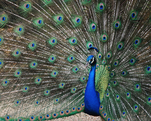 LCR - Male Peacock_colors